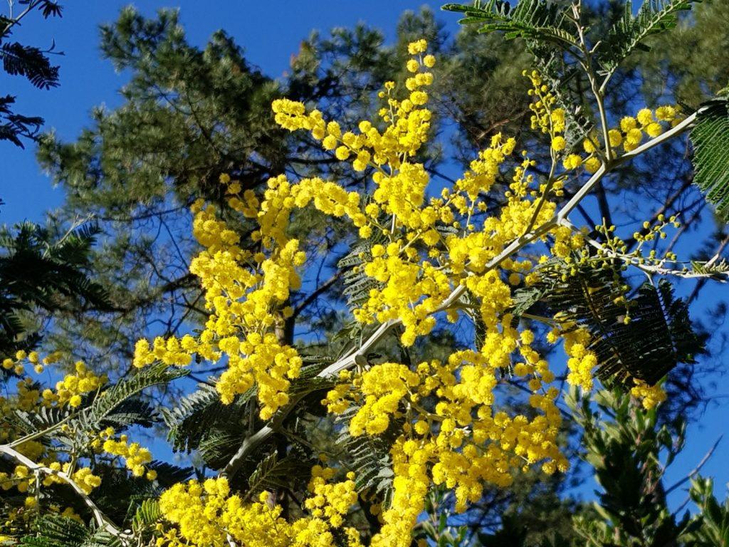 Mimosas, printemps, La Jenny