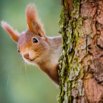 squirrel, pine forest, pine tree,