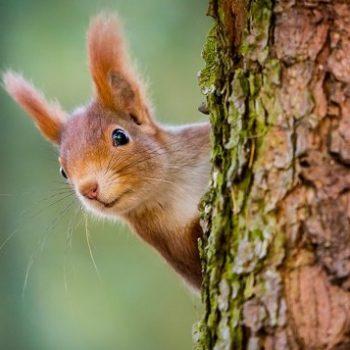Eekhoorn, dennenbos Frankrijk, La Jenny
